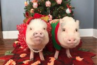 Pigs Wear Festive Pajamas Santa Hats And Ugly Sweaters Daily Mail inside dimensions 962 X 953